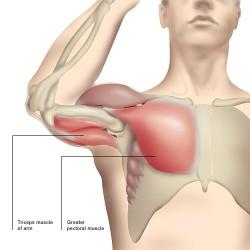 Armar- och bröstmuskler