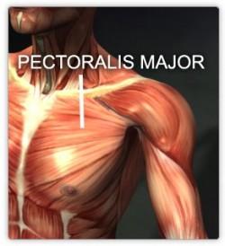 bröstmusklerna - pectoralis major